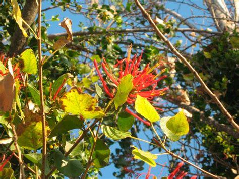 plantas medicinales descripcin y 8475565786 el quintral o quitral y el mu 233 rdago dos tipos de especies de interesantes caracter 237 sticas