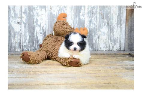 pomeranian panda puppies for sale teacup panda pomeranian puppy for sale near columbus ohio 683631da 3c71