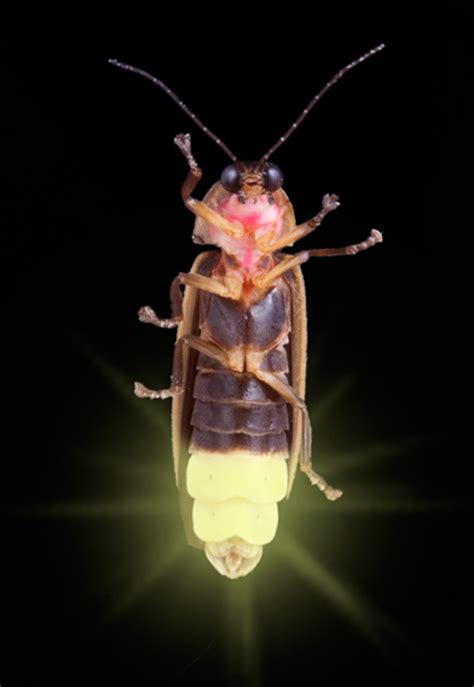 Lighting Bug by Lightning Bugs Pest Cemetery