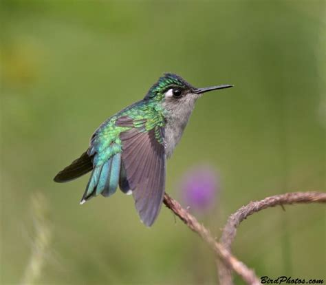 violet headed hummingbird hummingbirds pinterest