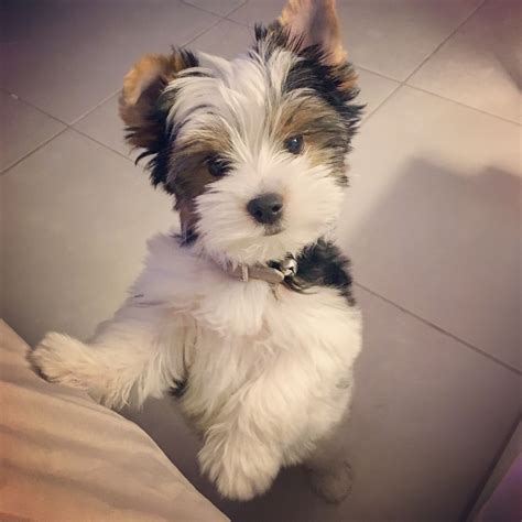 biewer terrier haircuts my baby girl mia a two and a half biewer yorkshire