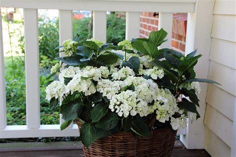 piante da vaso perenni piante perenni come scegliere quelle pi 249 adatte a balconi