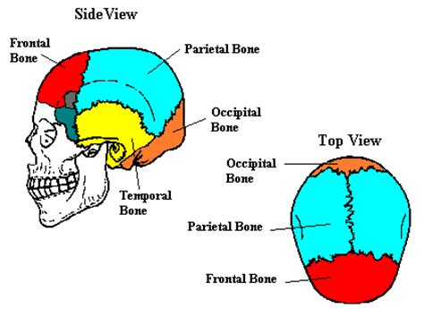 diagram of cranial bones four things about a simple approach to anatomy and