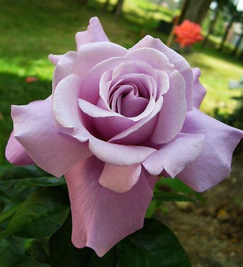 Mawar Mini Rambat Artifisialplastik Pink 17 best images about roses gardenias magnolias on