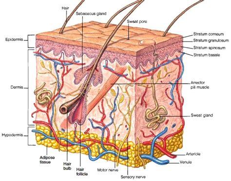 skin cells diagram skin structure of skin epidermis dermis hypodermis