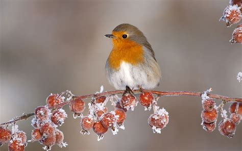 9 adult robin erithacus rubecula in winter perched on twig
