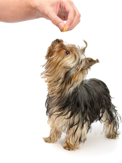 yorkie shine with the pet nutritionist yorkie splash and shine