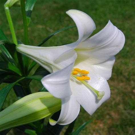 easter lily care and planting growing easter lily plants