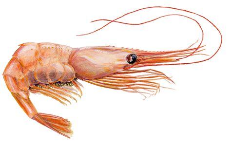 shrimp true wildlife creatures