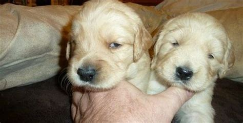 golden retriever puppies seattle wa lab yellow and black puppies golden retriever puppies for sale adoption from seattle