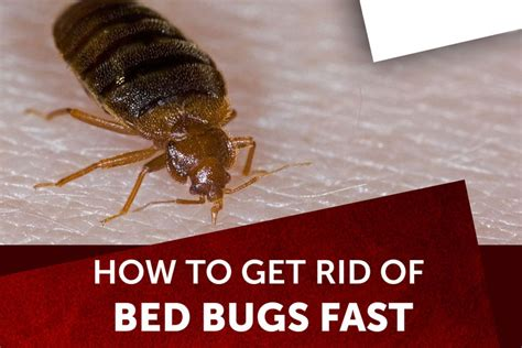 How To Kill Bed Bugs Fast by How To Get Rid Of Bed Bugs Fast 2019 Jobvacanciesinnigeria