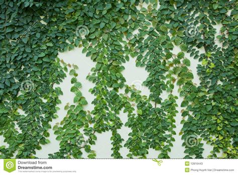 houseplant vine vines on the wall stock photos image 12816443