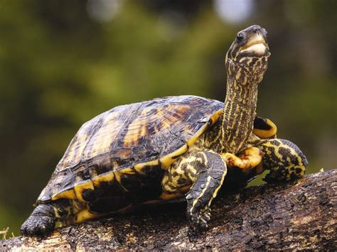 Turtle L by Turtle Tortoise 8 X 10 Glossy Photo Picture Ebay