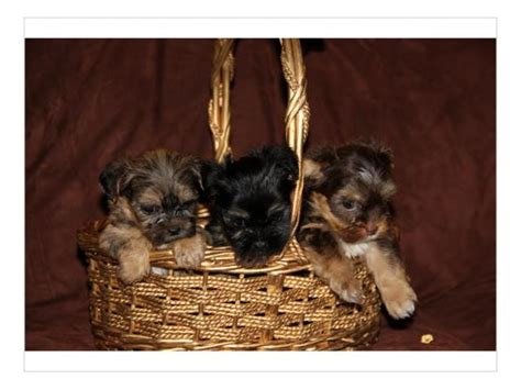 teacup yorkies for sale in pretoria adorable teacup yorkie puppies for sale pretoria tshwane puppies for sale