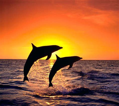 Sprei Sea Dolphine wallpaper dolphin sunset wallpapersafari