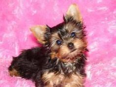 runt yorkie pups on boutique maltese and yorkie