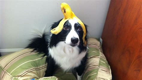 are bananas safe for dogs are bananas for dogs reference