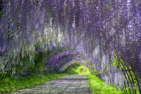 wisteria flower tunnel 14 incredible living tunnels around the world ecorazzi