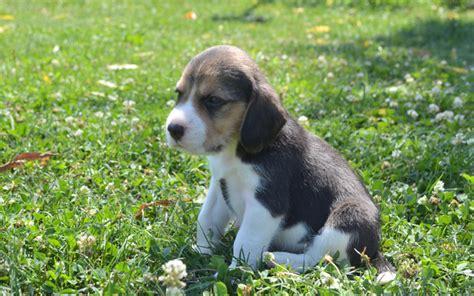 beagle in der wohnung beagle informationen welpen zu verkaufen