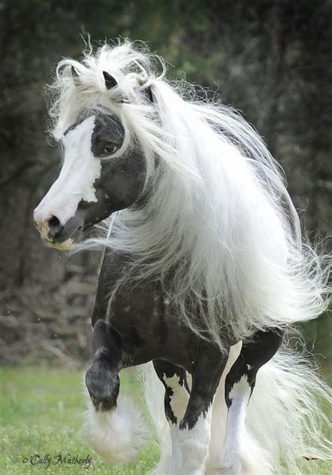 Gipsy Chocolate chocolate silver dapple vanner stallion cing