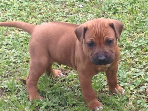 free puppy listings rhodesian ridgeback puppy for sale in college station