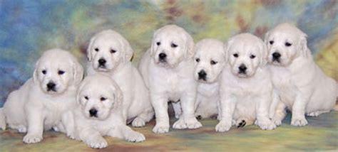 white oak golden retrievers golden retriever puppies white golden retriever puppies golden
