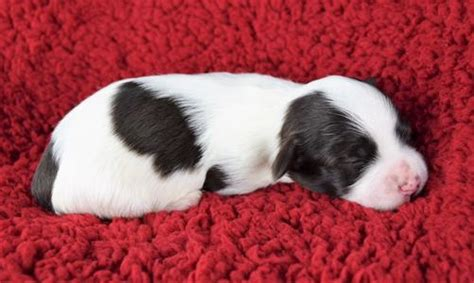 havanese breeders maine akc chocolate puppies for sale in maine maine havanese gray me