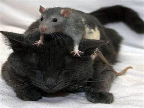 cat rat wallpaper 17 free rat cat the hd wallpaper 747 rat hd wallpapers