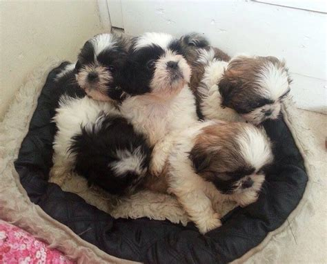 shih tzu puppies for sale in colorado colorado shih tzu puppies for sale breeds picture