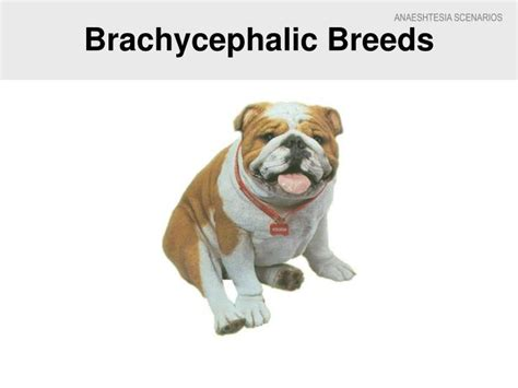 brachycephalic breeds ppt prepare and monitor anaesthesia in animals powerpoint presentation id 1044199