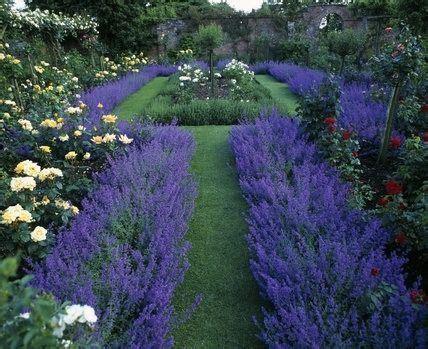 formal lavender plant border google search garden