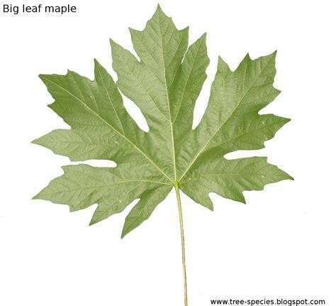 maple tree leaf arrangement the world 180 s tree species bigleaf maple leaf
