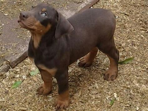 doberman puppies for sale los angeles doberman puppies for sale in los angeles for sale adoption from