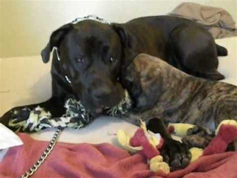 rottweiler puppies for sale in yuma az mastiff puppy funnydog tv
