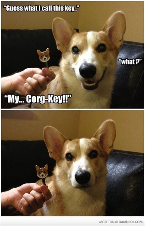 corgi is not amused funny pictures picture