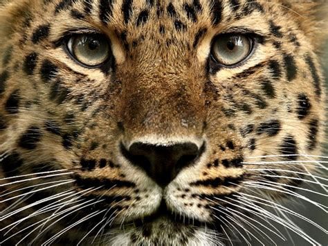 domain leopard image the graphics hughes amur leopard free images at clker