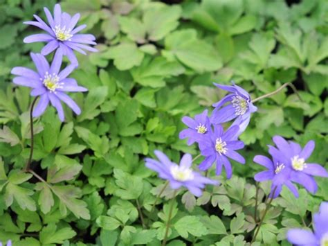 anemone apennina woodland plants herbaceous woodlanders anemone