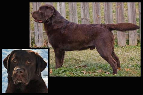 chocolate lab puppies colorado chocolate labrador retriever