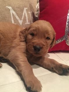 golden retriever puppies louisville view ad golden retriever puppy for sale ohio louisville usa