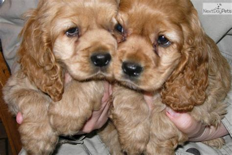 cocker spaniel puppies for sale ohio peanut cocker spaniel puppy for sale near tuscarawas co ohio ae735d9b 40f1