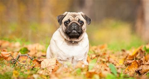 everything you need to about pugs pugs everything you need to about the breed