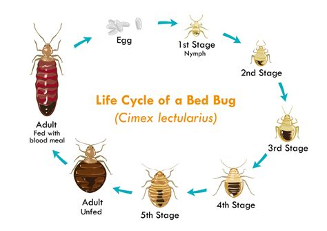 does diatomaceous earth kill bed bugs diatomaceous earth for bed bugs adorable diatomaceous earth kills bed bugs dengarden