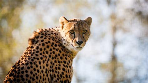 wallpaper cheetah big cat hd  animals