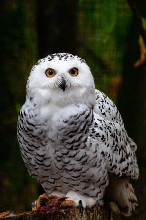 Snowy Owl Hedwig Papercraft By - 1000 images about birds owls snowy owls on