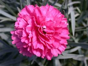 carnation carnation pictures pics images and photos for inspiration