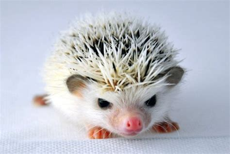 hedgehog for sale hedgehogs for sale shared by karolina kowalewicz
