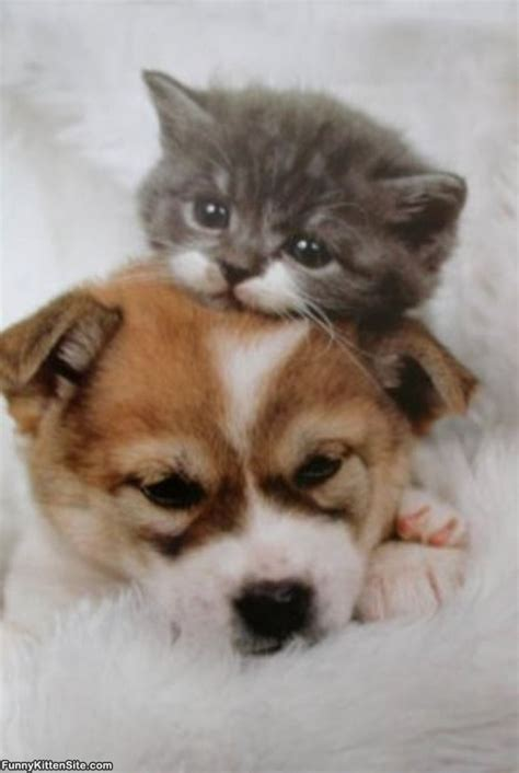 pictures of kittens and puppies kitten and puppy funnykittensite