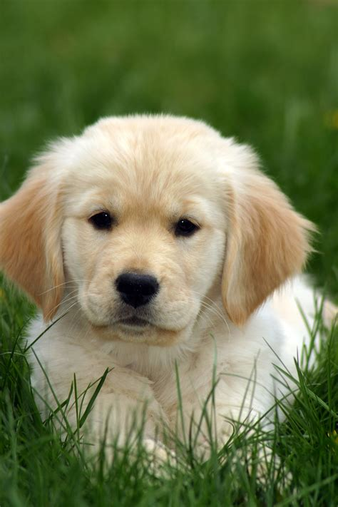 golden retriever puppies bc golden retriever puppy in grass flickr photo