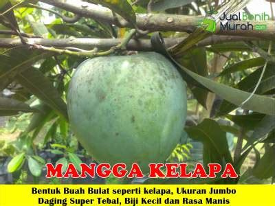 Bibit Pemutih Sg Cair 500ml buah mangga kelapa unggul jualbenihmurah