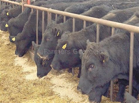 Cattle Feed Feeding Beef Cattle